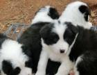 自家大狗下一窝聪明可爱的边牧幼犬388智商高公母都有 包健康