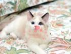 布偶猫长沙哪里有卖的 布偶猫价格 布偶猫多少钱