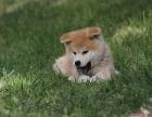 贵阳纯种秋田价格 贵阳哪里能买到纯种秋田犬