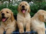 低价出售拉拉一金毛一比熊泰迪一 巴哥 博美一萨摩耶犬品种齐全