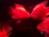 元宝鹦鹉鱼转让