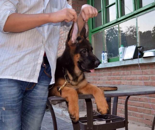 苏州德国牧羊犬一本地养殖狗场一直销各种世界名犬 常年售卖