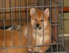 哪里有卖纯种柴犬出售 疫苗驱虫按时做好可签协议