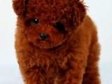 佛山出售纯种博美泰迪比熊金毛拉多萨摩耶阿拉斯加活体幼犬佛山