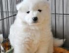 广州萨摩耶纯种幼犬出售 微笑天使萨摩耶 萨摩耶纯白漂亮狗狗
