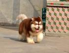 自家大狗生的一窝阿拉斯加可以来家里看大狗品相