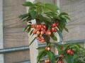 好看好吃的樱桃盆栽