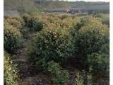 現挖現賣 湖南紅葉石楠樹-長沙紅葉石楠小苗農戶找宏景苗木