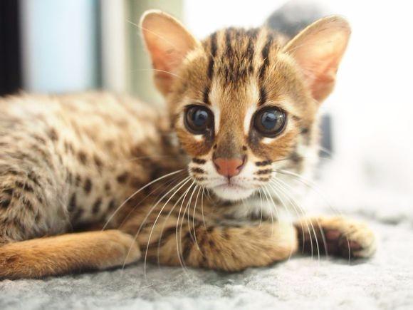 泉州哪里有孟加拉豹猫卖 野性外表温柔家猫性格 时尚 漂亮