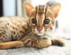 全国空运-超萌活泼可爱多种猫 火爆出售价格合理,购买签协议