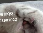 望有缘人来领养 本人送一只三月大苏格兰折耳猫