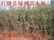 苹果苗-红富士苹果苗基地