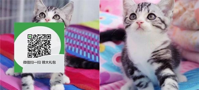 楚雄哪里有宠物猫出售,楚雄哪里有卖纯种虎斑猫价格