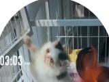 加菲猫,黑白樊和三花,血统纯正