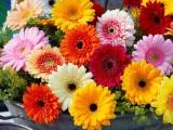 重庆非洲菊种子批发价格