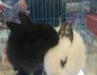宠物兔子 小兔