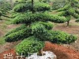 批发优质罗汉松庭院景观造型造型罗汉松 湖南产地供应