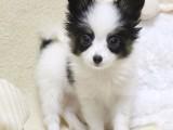 出售纯种蝴蝶犬幼犬/精品对称双耳黑