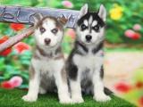 南京出售 纯种哈士奇犬 活签协议丨疫苗驱虫做完丨送用品