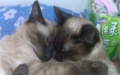 纯种暹罗猫幼崽低价转让300