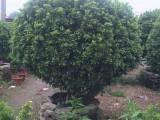 供应米兰球,盆景绿植,树型优美,福建苗木基地自产自销