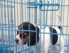 自家大狗生的一窝比格犬可以来家里看大狗品相