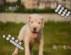 哪里可以买到健康的杜高犬可以签协议的那种