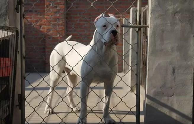 周口什么地方有狗场卖宠物狗/周口哪里有卖杜高犬
