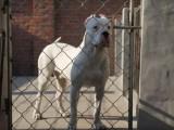 运城什么地方有狗场卖宠物狗/运城哪里有卖杜高犬