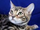 纯种豹猫出售 品质好 疫苗驱虫已做 健康保质