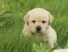 拉布拉多幼犬奶油白色宠物狗活体外地空运