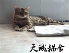 纯种豹猫,猫舍繁殖,健康纯种,品质保障