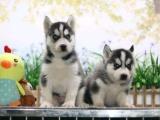 东莞 本地出售哈士奇幼犬狗狗包健康纯种售后无忧