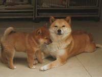 纯种日系柴犬,公母都有疫苗齐全,包纯包健康