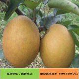 爱宕梨树苗产地批发 价格实惠无差价 质优价廉爱宕梨树苗