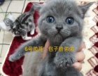 纯种精品短毛 虎斑 蓝猫