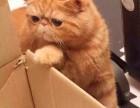 深圳哪里加菲猫幼崽的深圳加菲猫多少钱一只深圳哪有里宠物店
