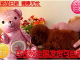 精品推荐超级可爱的茶杯体泰迪熊宝宝,城市家庭喂养的首选