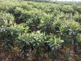 云南哪里有卖枇杷苗 大五星 带土球枇杷苗
