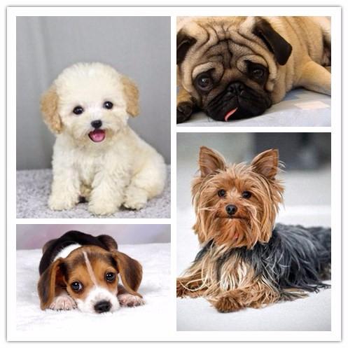 长春市朝阳区养殖地出售各种哈士奇 阿拉斯加 金毛等各种犬类