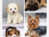 重庆里有好的幼犬出售 重庆里的幼犬好 狗场本地出售