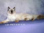 出售重点色布偶猫幼猫多只布偶猫纯种保证纯种健康
