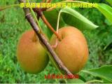 1米梨树苗批发价格