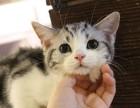 成都哪里有猫舍卖美短的成都猫舍美短价格