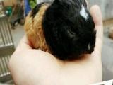 长期出售自家养殖荷兰猪极品宝宝