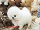 超萌纯种哈多利球形博美幼犬 粉雕玉琢 包健康 包活