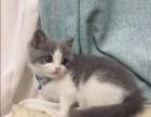 北京卖蓝猫 淘宝店铺搜:双飞猫
