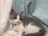虎斑貓多少錢一 店鋪搜:雙飛貓