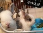 出售各类宠物兔