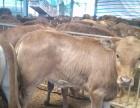 济宁出售肉牛犊,鲁西黄牛,利木赞牛,西门塔尔牛